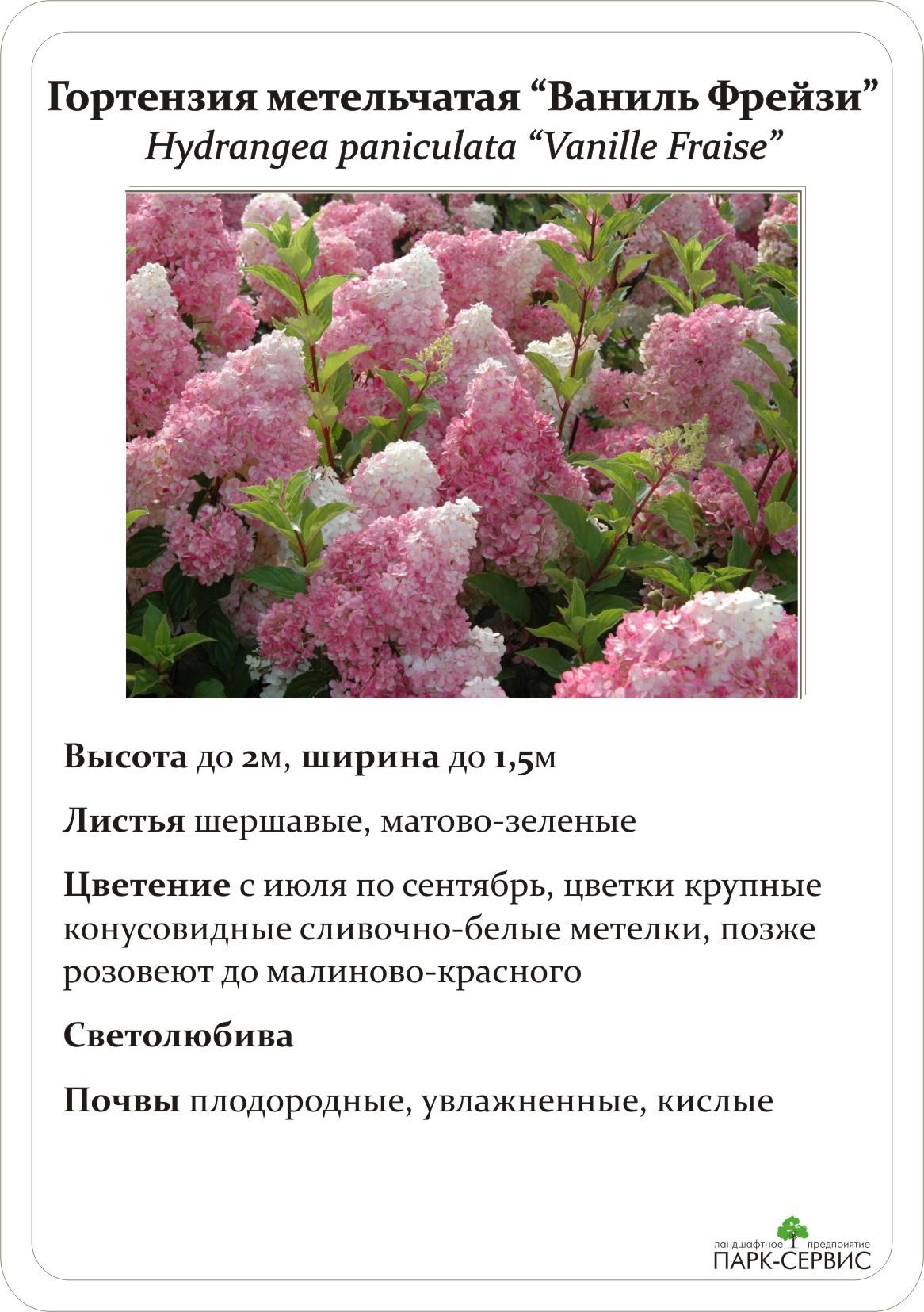 Цветок гортензия и описание