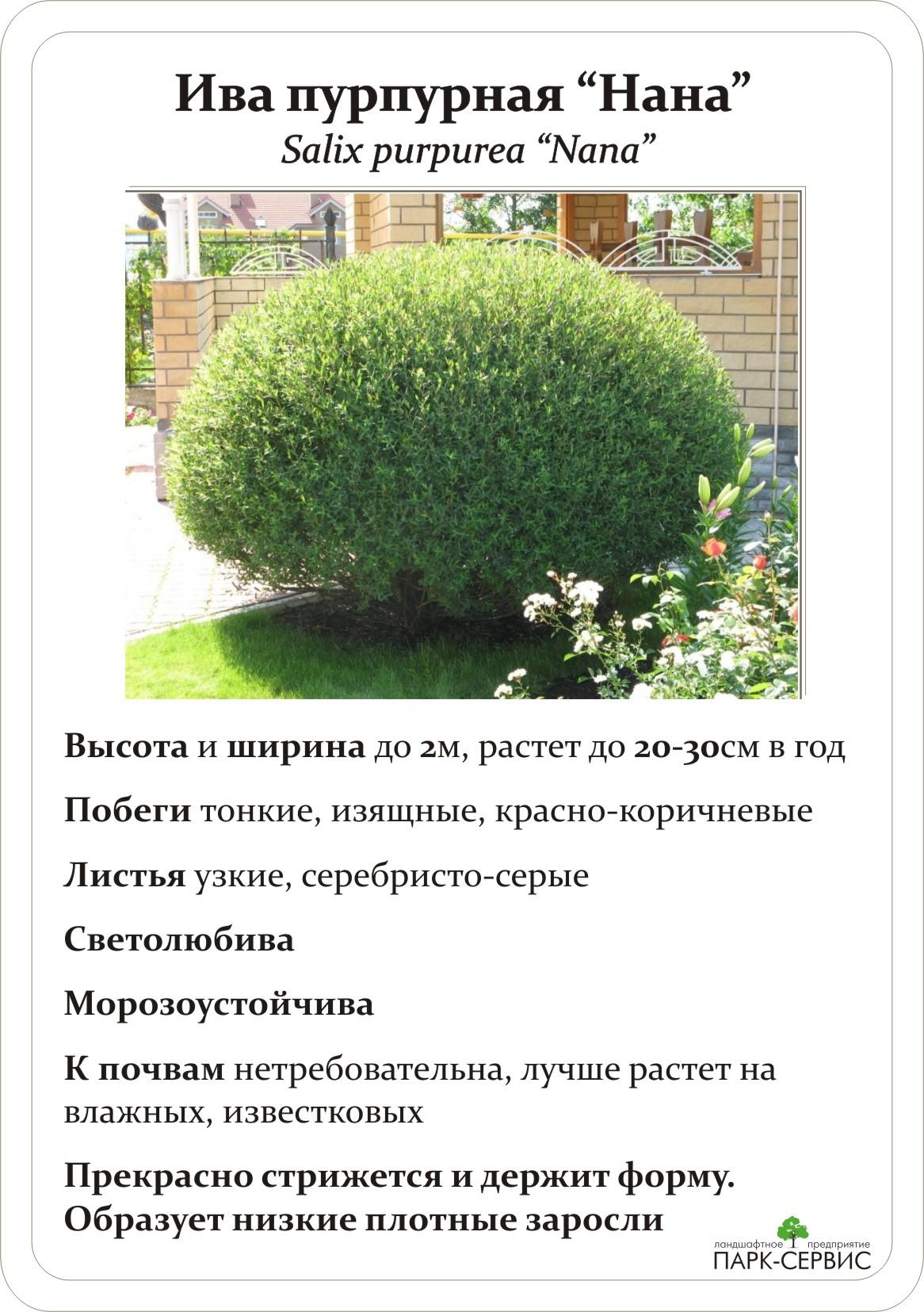 Ива ползучая в дизайне сада